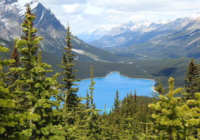Peyto Lake surrounded by white mountains and pine trees